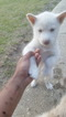 Siberian Husky Puppy For Sale in FAYETTEVILLE, North Carolina,