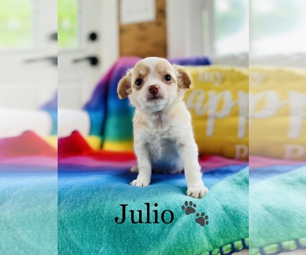 Medium Photo #4 Chihuahua Puppy For Sale in COOKEVILLE, TN, USA