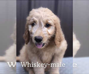 Goldendoodle Puppy for sale in MINCO, OK, USA