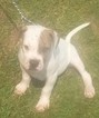American Bulldog Puppy For Sale in NEVADA, MO, USA