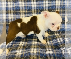 Boston Terrier Puppy for Sale in PIKEVILLE, North Carolina USA