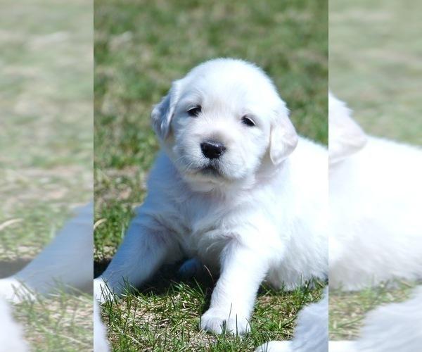 Medium Photo #3 English Cream Golden Retriever Puppy For Sale in NAPPANEE, IN, USA