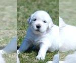 Small Photo #3 English Cream Golden Retriever Puppy For Sale in NAPPANEE, IN, USA