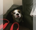 Small Photo #4 Beagle-English Bulldog Mix Puppy For Sale in MAPLE VALLEY, WA, USA