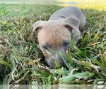 Small #4 American Pit Bull Terrier