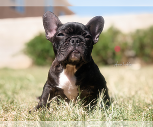 French Bulldog Puppy for Sale in DEL SUR, California USA