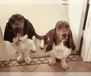 Mother of the Basset Hound puppies born on 01/15/2020