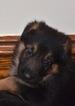 AKC German Shepherd Dog Puppies
