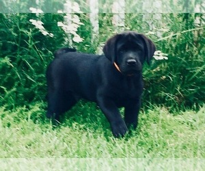 Labrador Retriever Puppy for Sale in FENTON, Michigan USA
