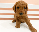 Puppy 8 Goldendoodle