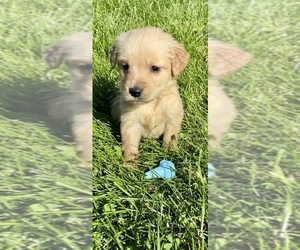 Golden Retriever Puppy for sale in INGLESIDE, IL, USA