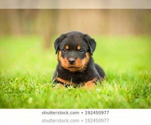 Rottweiler Puppy for Sale in BRIDGEPORT, Connecticut USA