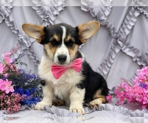 Pembroke Welsh Corgi Dog for Adoption in LANCASTER, Pennsylvania USA