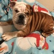 Puppy 1 English Bulldogge