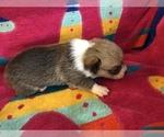 Small Photo #4 Pembroke Welsh Corgi Puppy For Sale in RAMONA, OK, USA