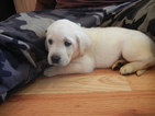 Labrador Retriever Puppy For Sale in EATON, Colorado,