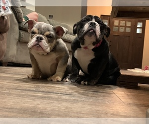 English Bulldogge Puppy for Sale in HUSON, Montana USA