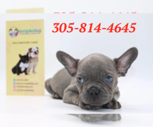 French Bulldog Puppy for sale in PNTE VDRA BCH, FL, USA