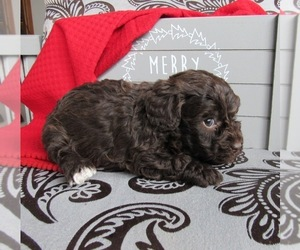 Poodle (Miniature) Puppy for sale in LE MARS, IA, USA