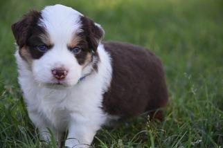 Miniature Australian Shepherd Puppy For Sale in LORENA, TX