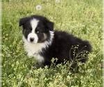 Small #20 Australian Shepherd