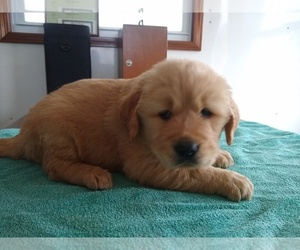 Golden Retriever Puppy for Sale in SUMNER, Illinois USA
