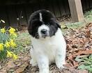 Newfoundland Puppy For Sale in CLINTON, AR, USA
