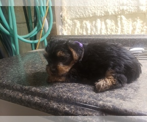 Yorkshire Terrier Puppy for sale in MOUNTAIN GROVE, MO, USA