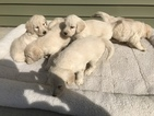 Goldendoodle Puppy For Sale in SHEPHERD, MI, USA