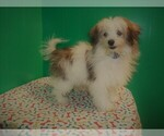 Small Photo #4 Maltipom Puppy For Sale in PATERSON, NJ, USA