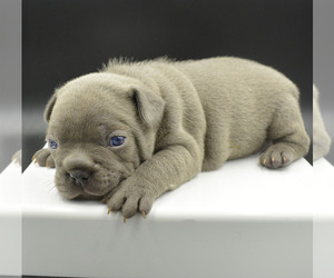 French Bulldog Puppy for sale in PASCO, WA, USA