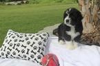 Adorable BiColor Bernedoodles for sale