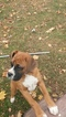 Boxer Puppy For Sale in DENVER, PA