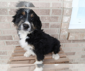 Bernedoodle Puppy for sale in COLUMBUS, OH, USA