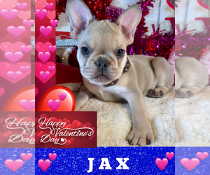 French Bulldog Puppy for Sale in HEATHROW, Florida USA