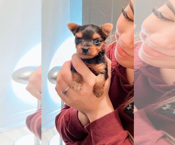Medium Photo #4 Yorkshire Terrier Puppy For Sale in KLEIN, TX, USA