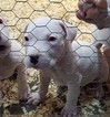 Dogo Argentino Puppy For Sale in PINEVILLE, Missouri,
