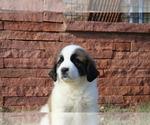 Puppy 7 Great Pyrenees-Saint Bernard Mix