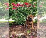 Puppy 3 Boxer-Catahoula Leopard Dog Mix