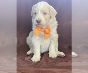 Aussiedoodle Puppy for sale in PORTERVILLE, CA, USA