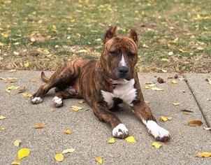 View Ad American Bully Puppy For Sale Near California Walnut Creek