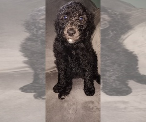 Labradoodle Puppy for sale in BROWNINGS CORNER, KY, USA