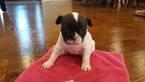 French Bulldog Puppy For Sale near 63640, Farmington, MO, USA