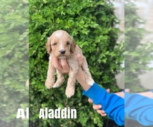 Australian Labradoodle Puppy for Sale in GLOUSTER, Ohio USA