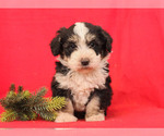 Puppy 8 Bernedoodle