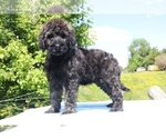 Small #48 Goldendoodle