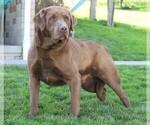 Small Photo #1 Labrador Retriever Puppy For Sale in FREDERICKSBG, OH, USA