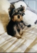 Yorkshire Terrier Puppy For Sale in VANCOUVER, WA, USA