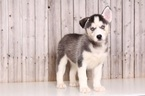 Siberian Husky Puppy For Sale in MOUNT VERNON, OH,