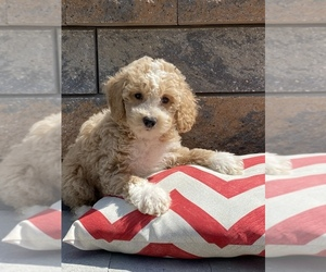 Maltese-Poodle (Toy) Mix Dog for Adoption in SENECA FALLS, New York USA